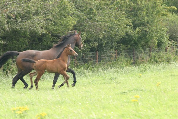 moving with foal