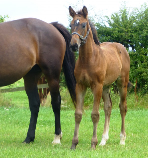 French Beauty filly by Lancelot