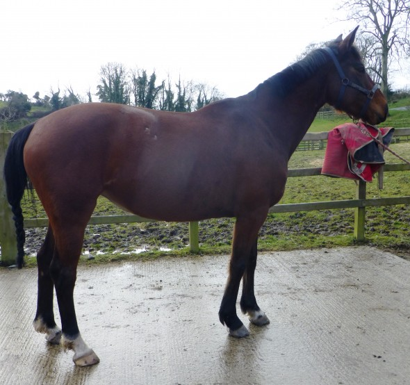 in foal to Glasgow van't Merelsnest VDL